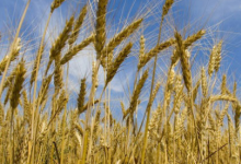 科学家:吃转基因小麦可能会破坏肝脏