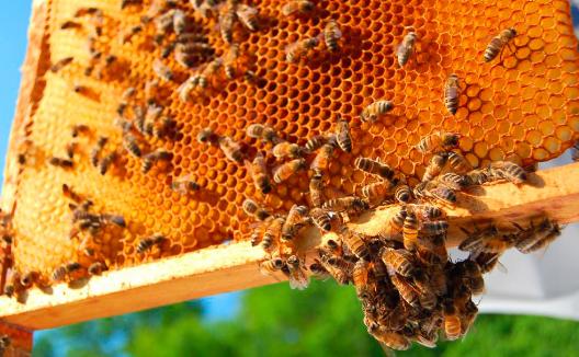 蜜蜂被宣布为地球上最重要的生物但它们可能很快就会灭绝