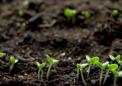 研究人员成功地从NASA开发的火星和月球土壤模拟物中收获了农作物