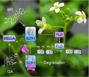宾夕法尼亚大学的生物学家发现了植物对激素信号的一种反应方式