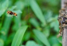 蜜蜂利用传染性和诚实的视觉信号来阻止攻击大黄蜂