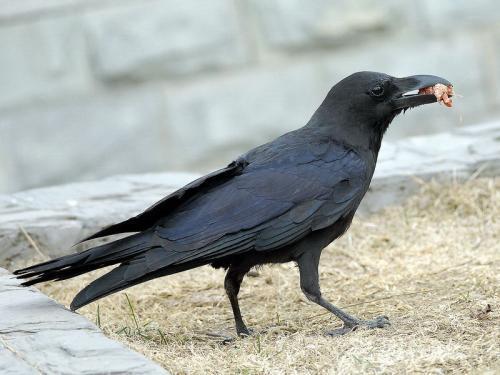 研究发现四个月大的乌鸦的认知能力可能与成年猿相似