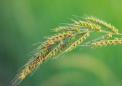 调查显示麦草畏可能会降低丛林控制的有效性