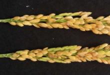 科学家利用离子束技术培育水稻新品种