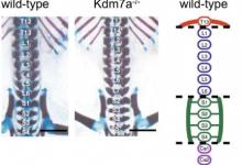赖氨酸脱甲基酶7a酶确保小鼠胚胎的身体计划正确发育