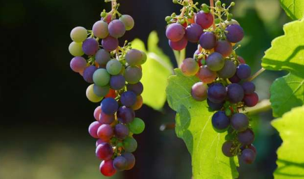 节水特性可以帮助葡萄酒度过气候变化吗
