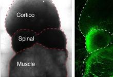 科学家组装驱动自愿运动的人类神经回路