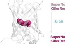 科学家创造了一种新的光毒性蛋白质SuperNova2