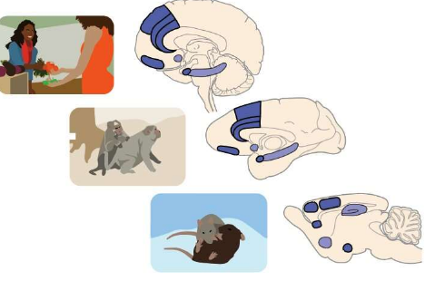 探索前额杏仁核脑回路在社会决策中的作用