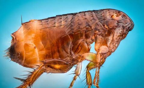 研究解决了跳蚤在生命树上的位置
