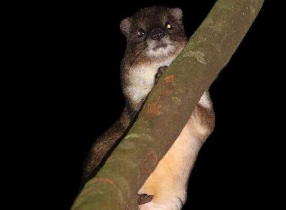 在非洲的山地森林中可能发现了一种新的哺乳动物