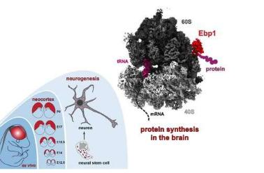 揭示神经细胞中核糖体的详细结构
