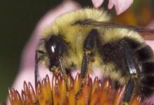 缺乏优质栖息地的大黄蜂的病原体含量更高