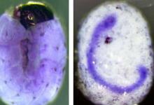 我们首次揭示了Corazonin是休眠卵生产的关键因素