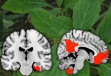 首先看一下药物Salvinorin A在大脑中的作用