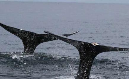 大便中发现的激素代谢物为研究人员提供了有关鲸鱼压力的新见解