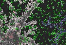 星形胶质细胞吞食连接以维持成人大脑的可塑性