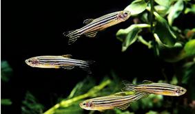 MIPT研究人员使用斑马鱼研究慢性应激