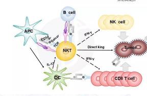 用于研究T细胞活化过程中微小牵引力的新型显微方法