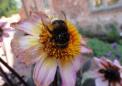 大黄蜂学习最好的花朵的位置