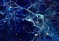 研究人员发现成人大脑可塑性的潜在机制