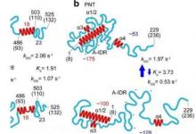 高速原子力显微镜处理固有紊乱的蛋白质