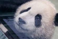 台湾出生的第二只熊猫幼崽在媒体上亮相