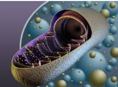 研究人员发现细胞翻转线粒体的新机制