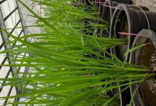 旗叶可以帮助提高水稻的光合性能